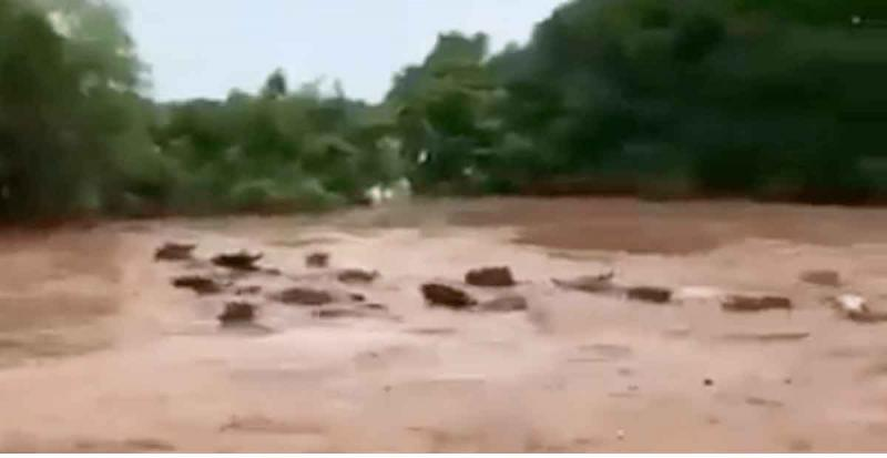 VIDEO: Vacas son arrastradas por el cauce de un rio en Nayarit